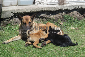 Belgian Malinois feeding two mixed breed puppies