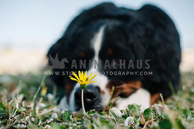 bernese mountain dog laying down  behind a small yellow wildflower