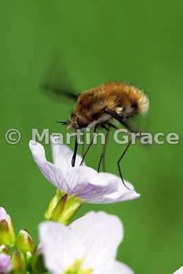 Bee-Fly (Bombylius major) hovering while it feeds from Cuckoo-flower (Cardamine pratensis)