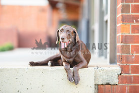 older chocolate lab lying down next to brick building