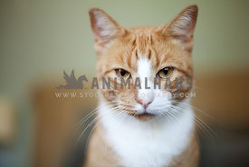 fit young ginger cat stares seriously into camera
