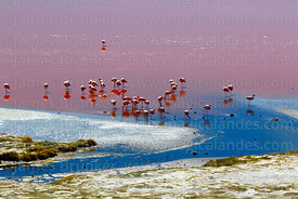 Flock of flamingos in Laguna Colorada, Eduardo Avaroa Andean Fauna National Reserve, Bolivia