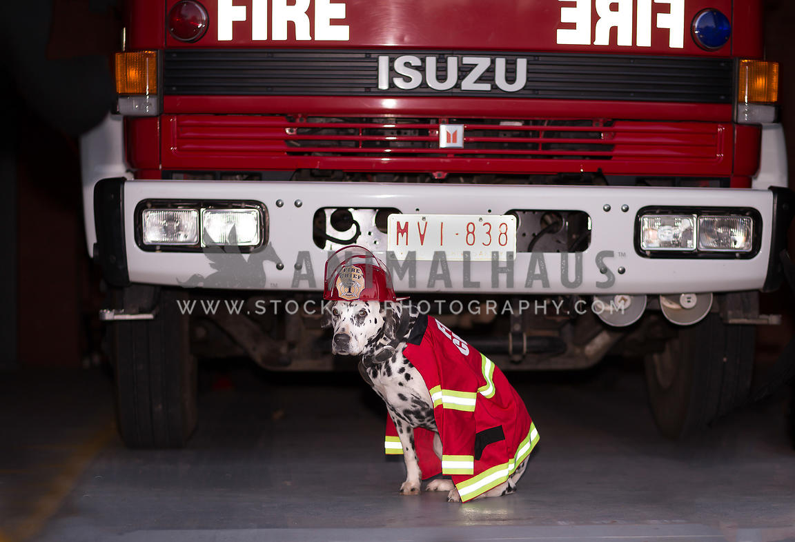 Dalmatian sitting in front of fire truk with fluoro vest and helmut
