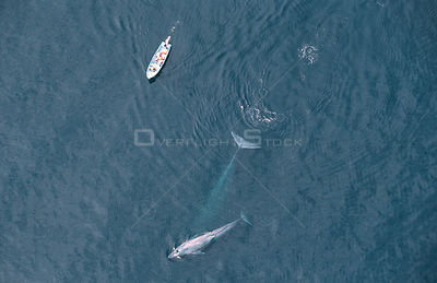 Aerial view of whale watching boat and Blue whale + calf, Sea of Cortez, Mexico