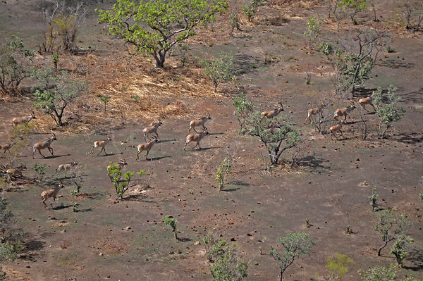 Group of Roan Antelope (Hippotragus equinus) seen from the air. Sahelo-Sudanese Biome, W National Park (UNESCO, IUCN & RAMSAR...