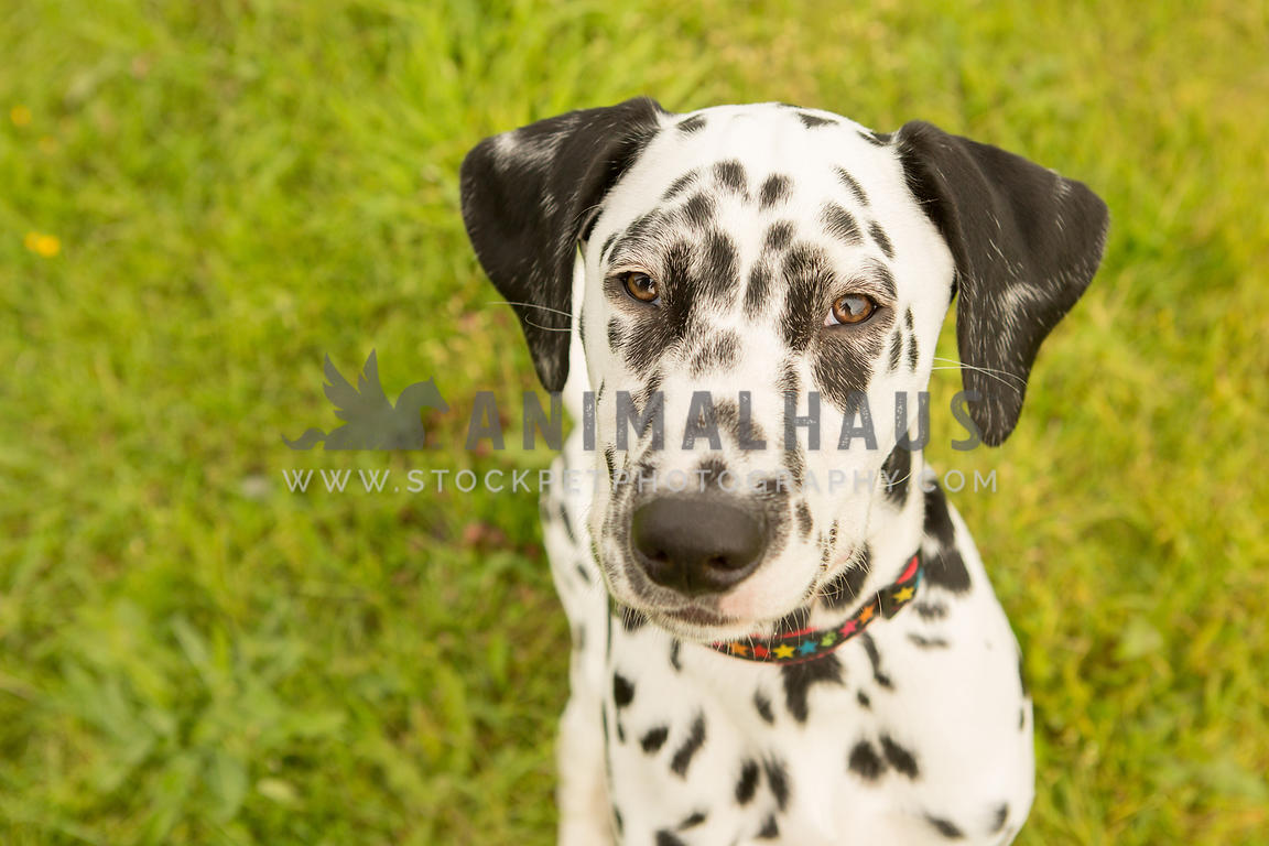 close up headshot of Dalmatian dog against grass background