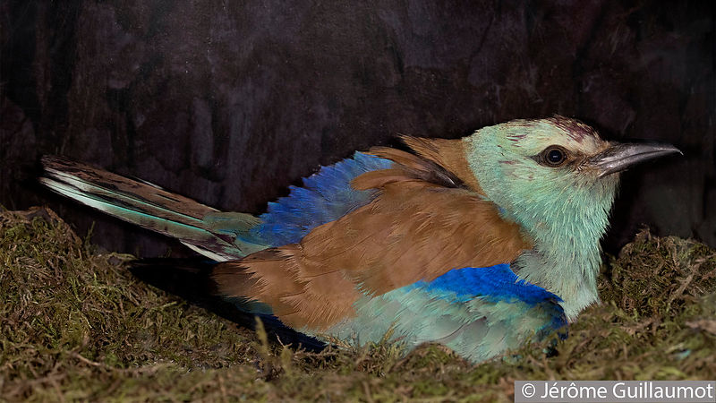 European Roller adventures - Episode 1 - First encounter