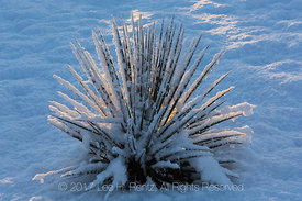 Kanab Yucca in Snow near Coral Pink Sand Dunes State Park