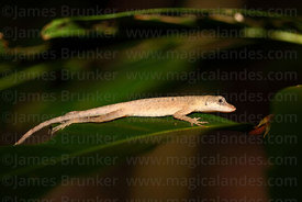 Amazon bark anole (Anolis ortonii)
