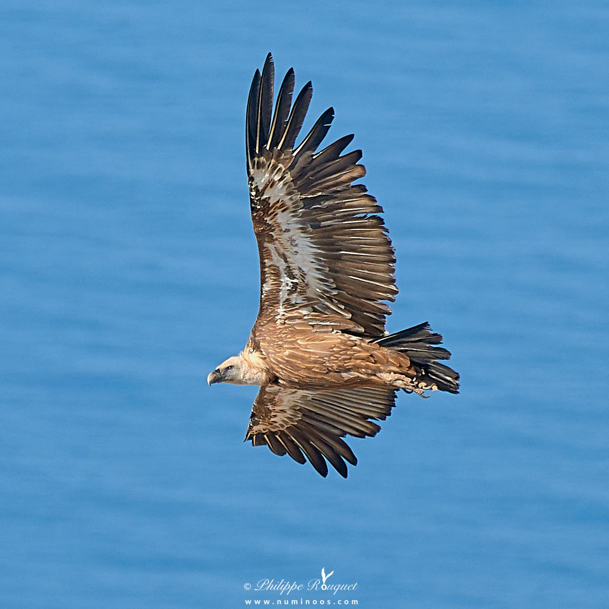 Eye level with Griffon vulture