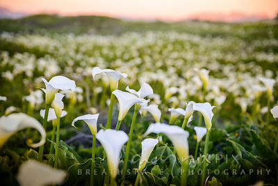 Field full of white arum lilies