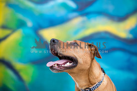 Happy dog looking up in front of a colorful graffiti wall