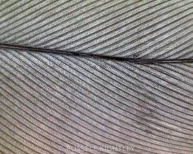 FEATHER: extreme close-up of a cockatiel feather #1