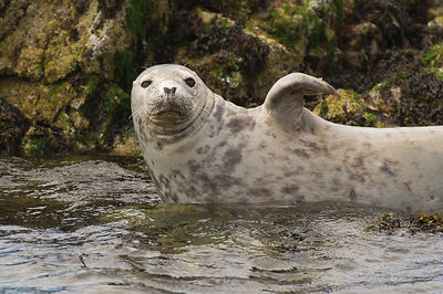 Seal waving