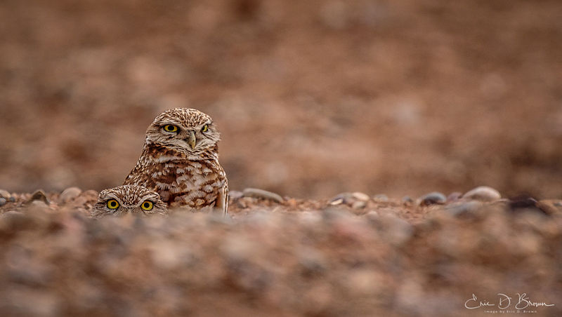 Burrowing Owls peaking from their Den