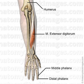 forearm-hand-muscules-extensor-digitorum-muscle-humerus-lateral-epicondyle-distal-middle-phalanx-skin-names