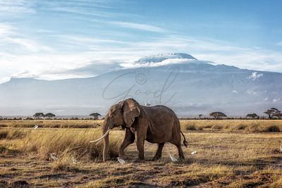African Elephant Walking Past Mount Kilimanjaro