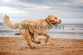 happy dog running across sandy beach