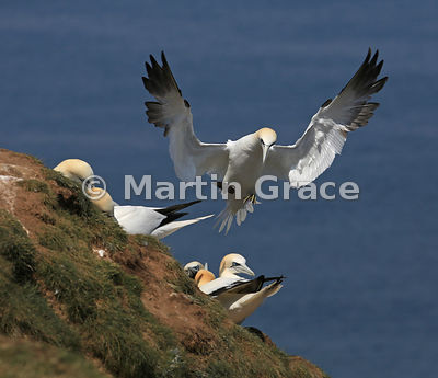 Northern Gannet (Morus bassanus) in graceful pre-landing flight position, Bempton Cliffs (RSPB), East Riding of Yorkshire, En...