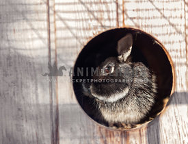 Miniature rabbit looking out of a circular hutch