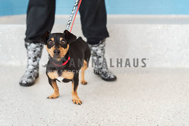 Black and tan dachshund rescue dog against legs of volunteer in rainboots