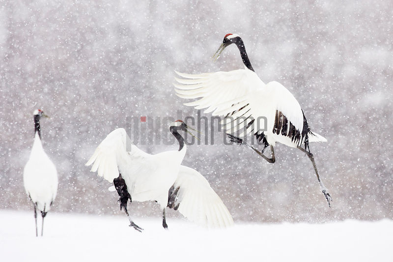 Red Crowned Cranes doing a Mating Dance