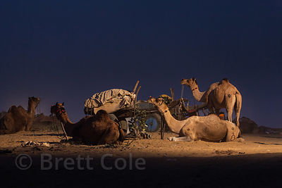 Nighttime view of camels and a wooden cart  at the Pushkar Camel Mela, Pushkar, India.