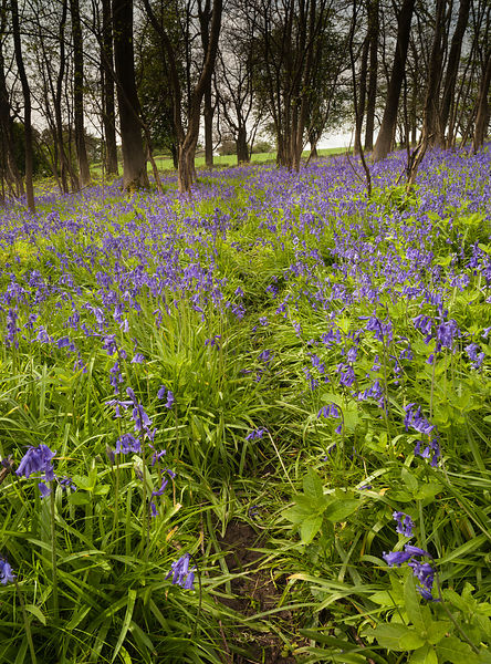 Path through the bluebell wood
