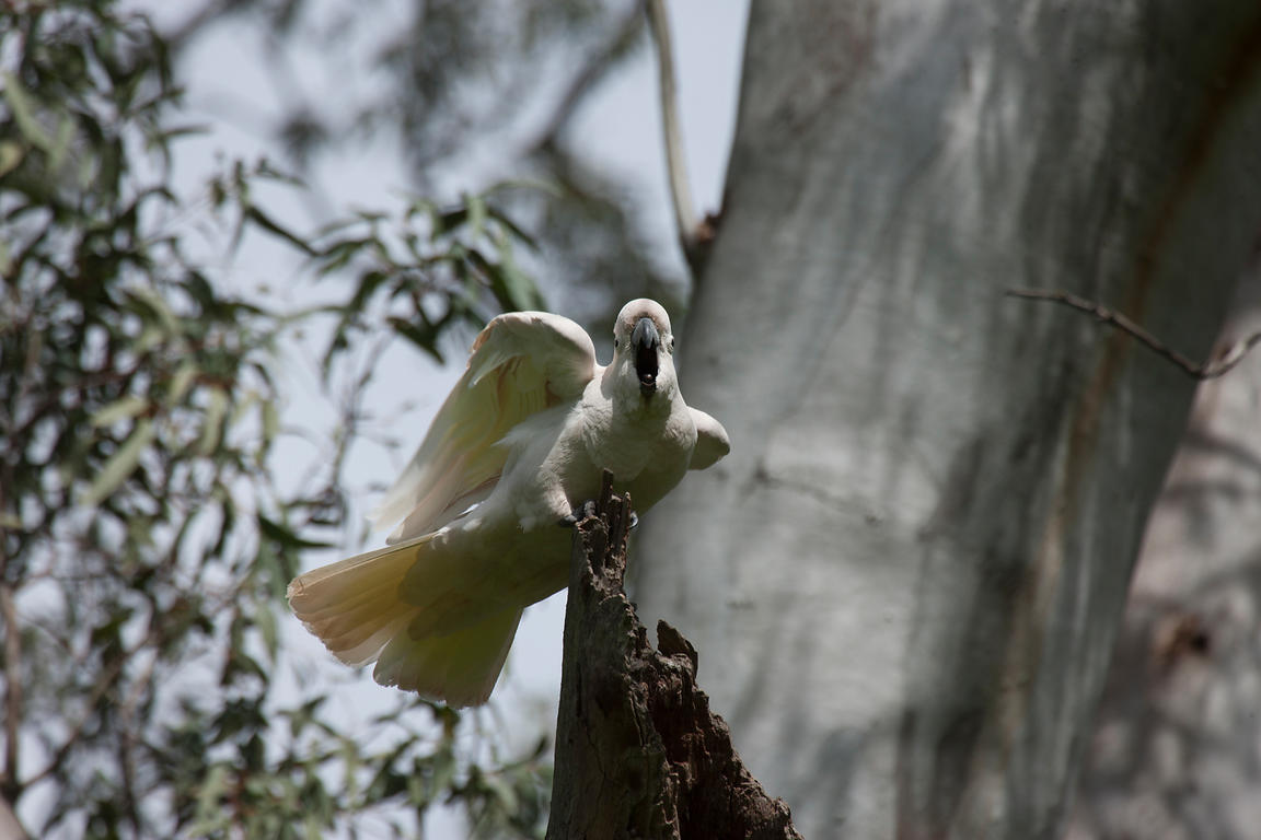 A Sulphur-crested Cockatoo in a gum tree