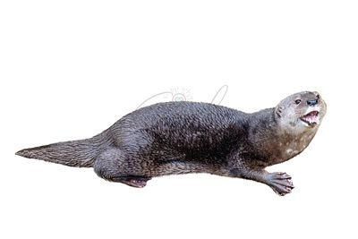 Cute Happy Otter Isolated on White