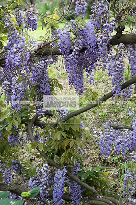 Wisteria sinensis Sweet (glycine de Chine), Chinese kidney bean, Synonyme Wistaria chinensis, Fabaceae, Grimpante rustique, V...