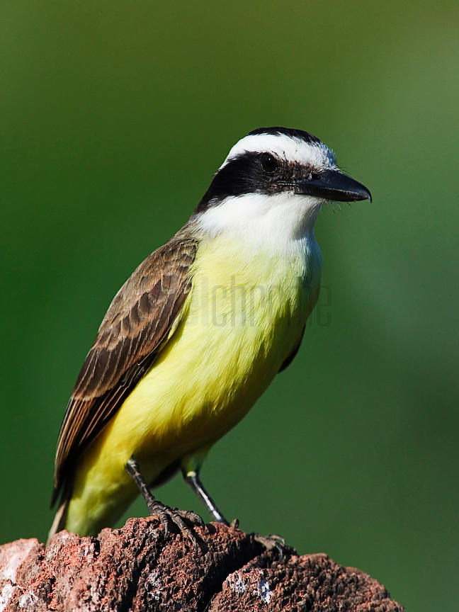 Great Kiskadee, Transpantaneira Highway, Pantanal, Mato Grosso, Brazil