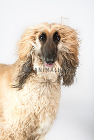 Afgan Hound studio  portrait with wind in face