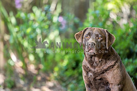 chocolate labrador retriever adult sitting looking at camera outside