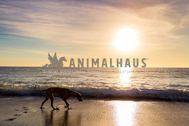 great dane walking along the beach at sunrise