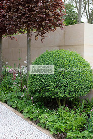 Buxus sempervirens (buis), Common box, Paysagiste : Arne Maynard; CFS; Angleterre