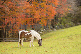 pony grazing in pasture in the fall