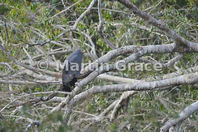 African Harrier-Hawk (Polyboroides typus), River Chobe, Botswana
