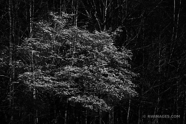 FLOWERING DOGWOOD SMOKY MOUNTAINS BLACK AND WHITE