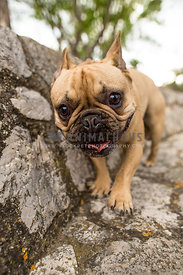 french bulldog walking towards camera wide angle