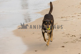 Kelpie running along edge of ocean with tennis ball in mouth tail up.
