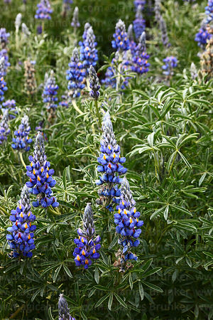 Andean lupinus species