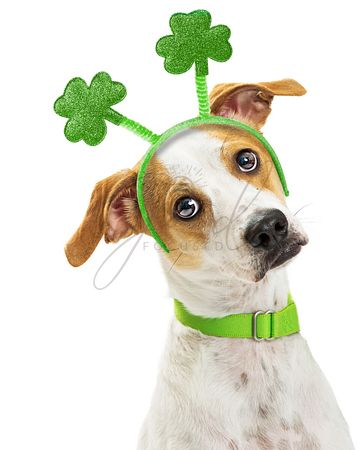 Cute Funny St Patricks Day Dog Closeup