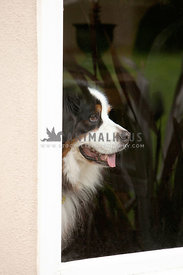 bernese-dog-waiting-at-window-door