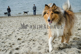 A large Collie happily walks on the sand