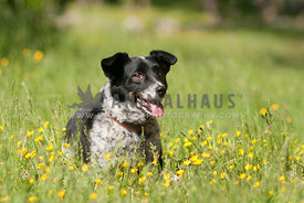 Mixed Breed laying amongst the grass and buttercups.