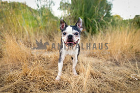 Happy senior boston terrier