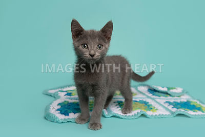 Fuzzy grey kitten standing on blanket