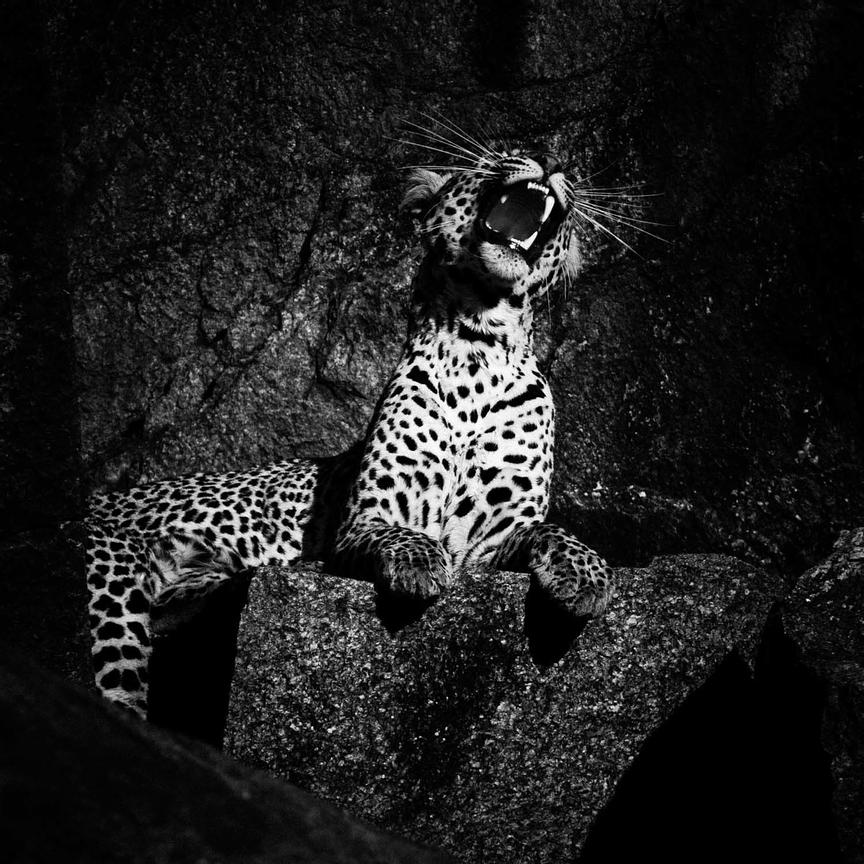 06260-Leopard_Laurent_Baheux