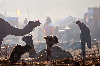 Camels at the Pushkar Camel Fair, Rajasthan, India